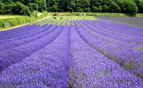 Tân Cương mùa hoa oải hương
