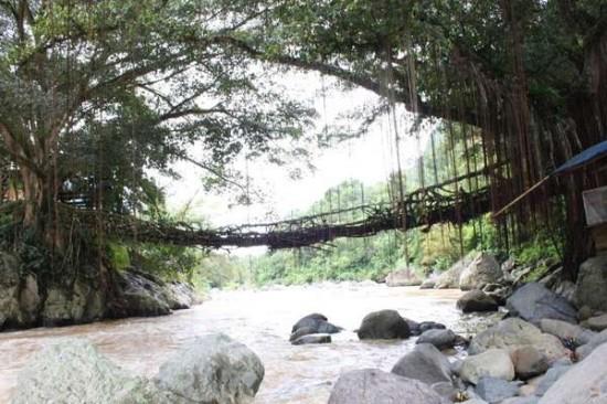 """Độc đáo cây cầu """"sống"""" ở Indonesia"""