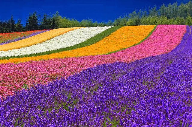 Ngất ngây mùa oải hương ở Furano, Nhật bản