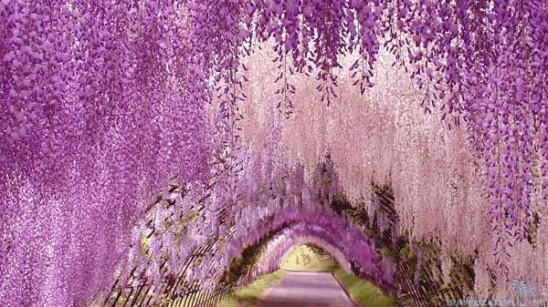 Ngất ngây với đường hầm hoa Fuji ở Nhật Bản