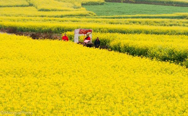 Hoa cải dầu được trồng để lấy hạt, mùa hoa bắt đầu từ giữa tháng ba và kéo dài sang đến giữa tháng tư, đó là thời điểm đẹp nhất của La Bình. Hàng nghìn mảnh ruộng cùng nở rộ hoa tạo nên một khung cảnh lộng lẫy. Hoa cải vàng thu hút không chỉ hàng ngàn những cánh bướm rực rỡ, những bầy ong mật, mà nó còn thu hút hàng nghìn khách du lịch đến từ khắp nơi trên đất nước Trung Quốc về tham quan.